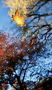 (falling grace)  --  A golden maple leaf floats from branches above down to earthen roots below.        (10/31/06)        MZ Photo Scenic image from the Walla Walla Valley. Fall color and leaves, spring flowers, winter snow, and summer sun.