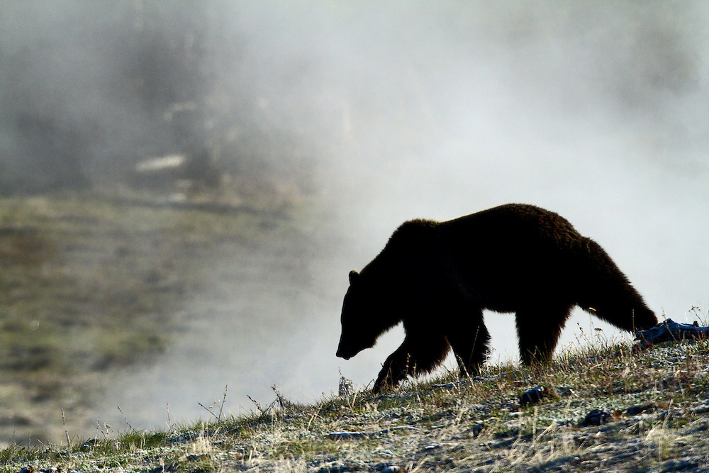 A young grizzly moves through the thermal areas near Mary Bay in Yellowstone National Park. Silhouetted against the steam rising from the thermals, she appears almost ghostly.