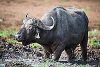 Cape Buffalo bull wallowing in thick mud during the heat of the day , Phinda private Game Reserve, KwaZulu Natal, South Africa