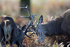 OCT 28 2014 Deer in Richmond Park