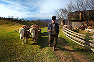 Rural Romanian man walking his bullock in the countryside region of Transylvania