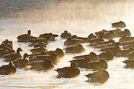 00748-05409 Canada Geese (Branta canadensis) flock on frozen lake at sunrise, Marion Co, IL