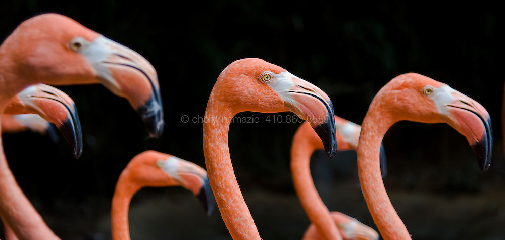 Flamingos on parade at the Fort Worth Zoo.