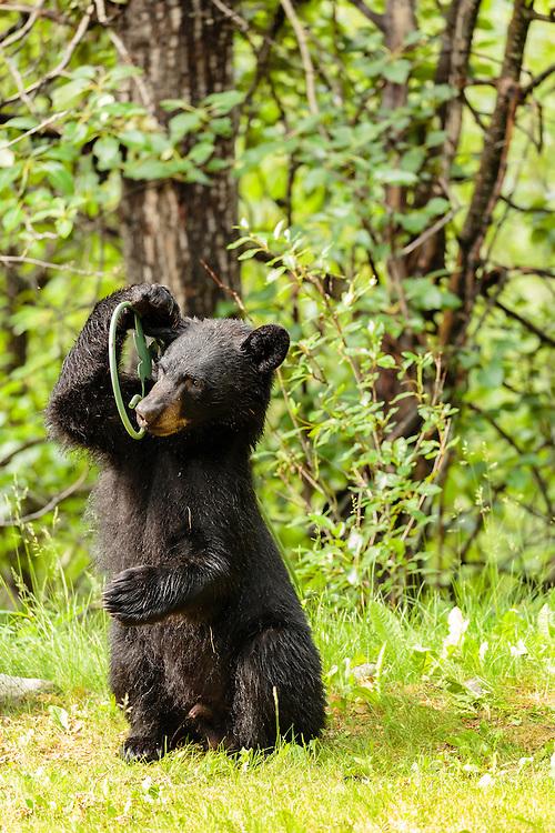 Black bear (Ursus americanus) cub  playing with flower hanger in Southcentral Alaska. Summer. Morning.