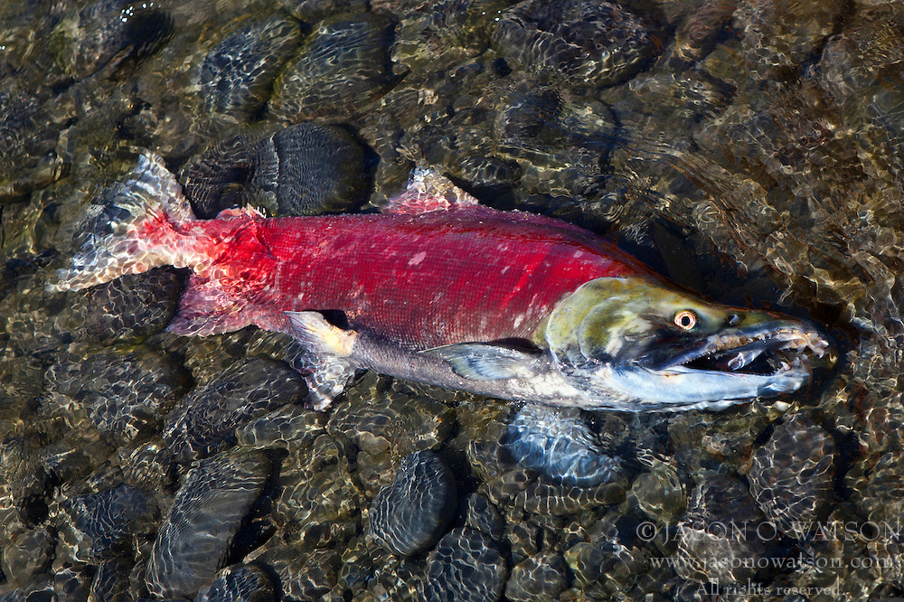 Freshwater phase Sockeye salmon (Oncorhynchus nerka) near death after spawning along the banks of the Kenai River, Kenai National Wildlife Refuge, Alaska, United States of America