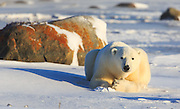 A polar bear (Ursus maritimus) rests in the late afternoon light.