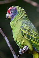 Portrait of a festive amazon or festive parrot (Amazona festiva), at the Parque das Aves, Iguazu Falls, Brazil