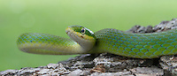 Rough Greensnake, Opheodrys aestivus;<br />