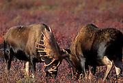Bull Moose, Moose, Denali National Park, Alaska