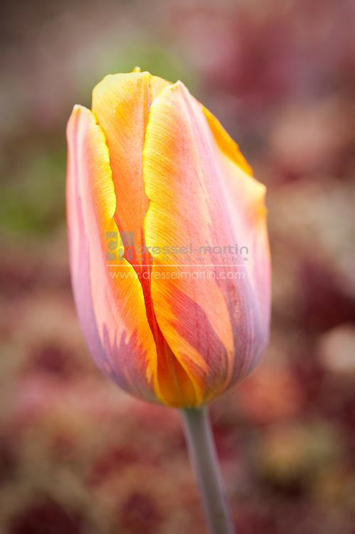 Denver Botanic Gardens, Perennial Walkway, Tulips, spring, reaching, striving,