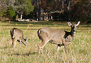 Deer doe and fawn graze in Cades Cove beside John Oliver Cabin, which was built circa 1822, one of the oldest structures in Great Smoky Mountains National Park, USA. Oliver fit the log corners with half dovetail notches draining outwards to discourage rot. The cabin roof was fitted with 3,000 handmade shakes (wooden shingles). Cades Cove, once home to numerous settlers, is an isolated valley located in the East Tennessee section of Great Smoky Mountains National Park, USA. Today Cades Cove is the most popular destination for visitors to the park, attracting over two million visitors a year, due to its well preserved homesteads, scenic mountain views, and abundant display of wildlife.