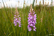 Europa, Deutschland, Nordrhein-Westfalen, Troisdorf, Geflecktes Knabenkraut (lat. dactylorhiza maculata) im Herfeldmoor der Wahner Heide. - <br /> <br /> Europe, Germany, Troisdorf, North Rhine-Westphalia, Heath Spotted Orchid (lat. dactylorhiza maculata) in the Herfeld bog in the Wahner Heath.