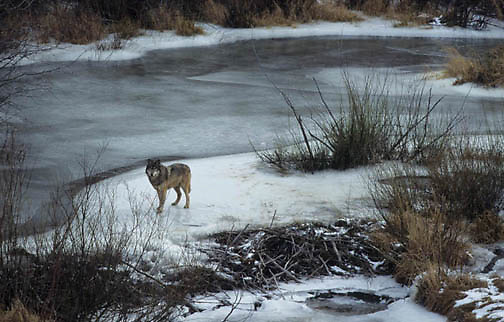 Gray Wolf, (Canis lupus) Hunting for beaver at beaver pond. Montana. Winter.  Captive Animal.