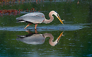 Heron and fish