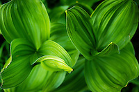 Detail view of a corn lily plant in Utah's Albion Basin during Summer.