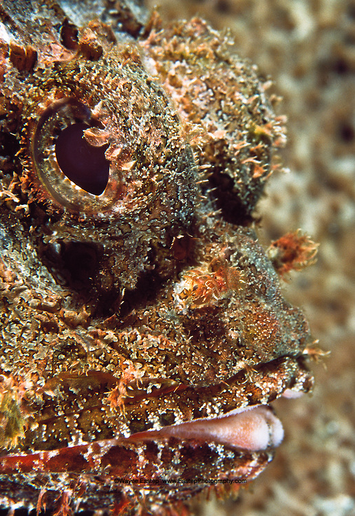 Scorpionfish (Scarpaena plumieri). This fish has a most effective camouflage. It will lie on a rock waiting for an unsuspecting fish, then attack.  Its appearance is also a defense against predators.  Bonaire
