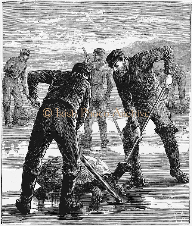 Green (Edible) Turtle - Chelonia mydas - coming ashore to lay their eggs and being caught and turned over by sailors. Turtle meat greatly prized . Wood engraving c1900.