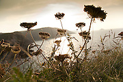 Cow parsley by coast near Polzeath, Cornwall, England, UK