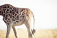 A giraffe in the Masai Mara National Reserve, Kenya, Africa