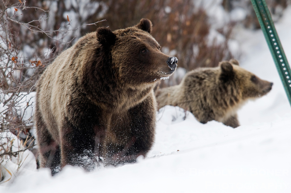 The bear known as Grizzly 399 and her two cubs forage for food along the Moose-Wilson Road in Grand Teton National Park.