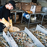 Fishmonger sorting fresh crabs at the historic Maine Avenue Fish Market on the waterfront in Washington DC.