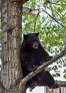A massive bear perches in a tree in the middle of the Hyman Avenue Mall in Aspen, Colorado.