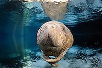 Florida manatee, Trichechus manatus latirostris, a subspecies of the West Indian manatee, endangered. A manatee calf rubs its flippers together while floating in the warm blue freshwater springs. The young manatee's snout and whiskers are prominent while lit by rainbow sun rays. Calves often have this bumpy, itchy skin which they eventually grow out of. Horizontal orientation. with blue water, reflection and warming sun rays on a cold winter day. Three Sisters Springs, Crystal River National Wildlife Refuge, Kings Bay, Crystal River, Citrus County, Florida USA.