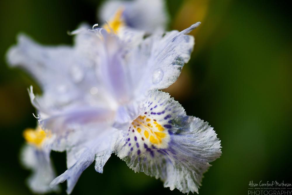 Iris Confusa at Kew Botanic Gardens in London, England