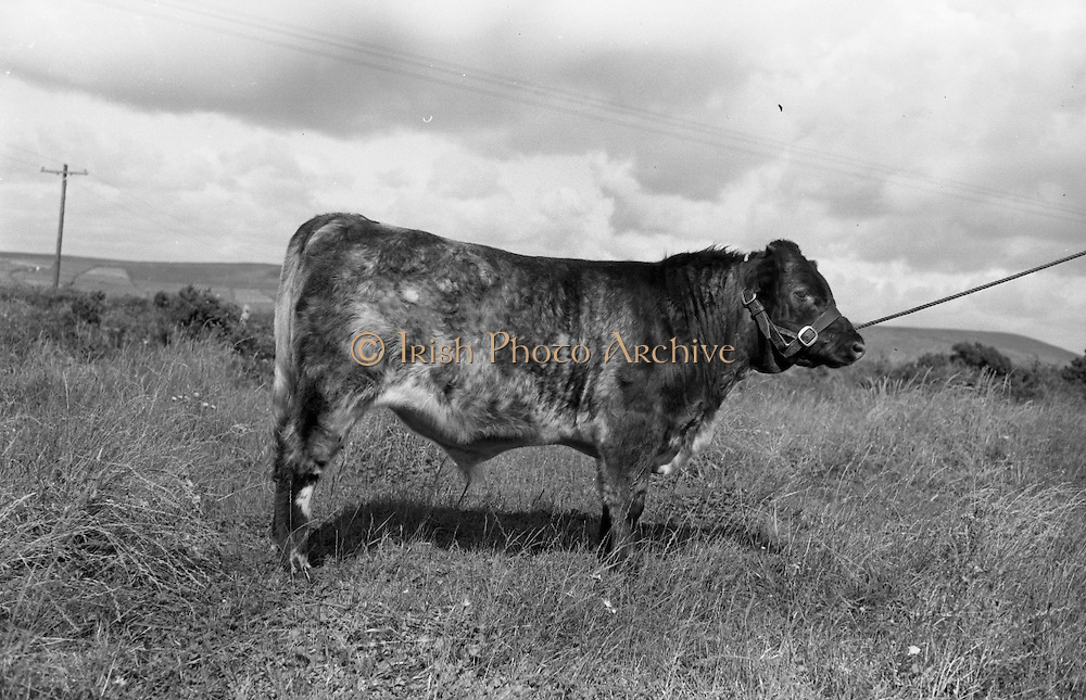 Farm Animals and People in Kanturk, Co. Cork and Castleisland, Co. Kerry. J.J. Murphy's champion bull..10.09.1965