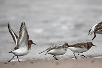 Waders sanderlings  (Calidris alba)  Saltee Islands Ireland