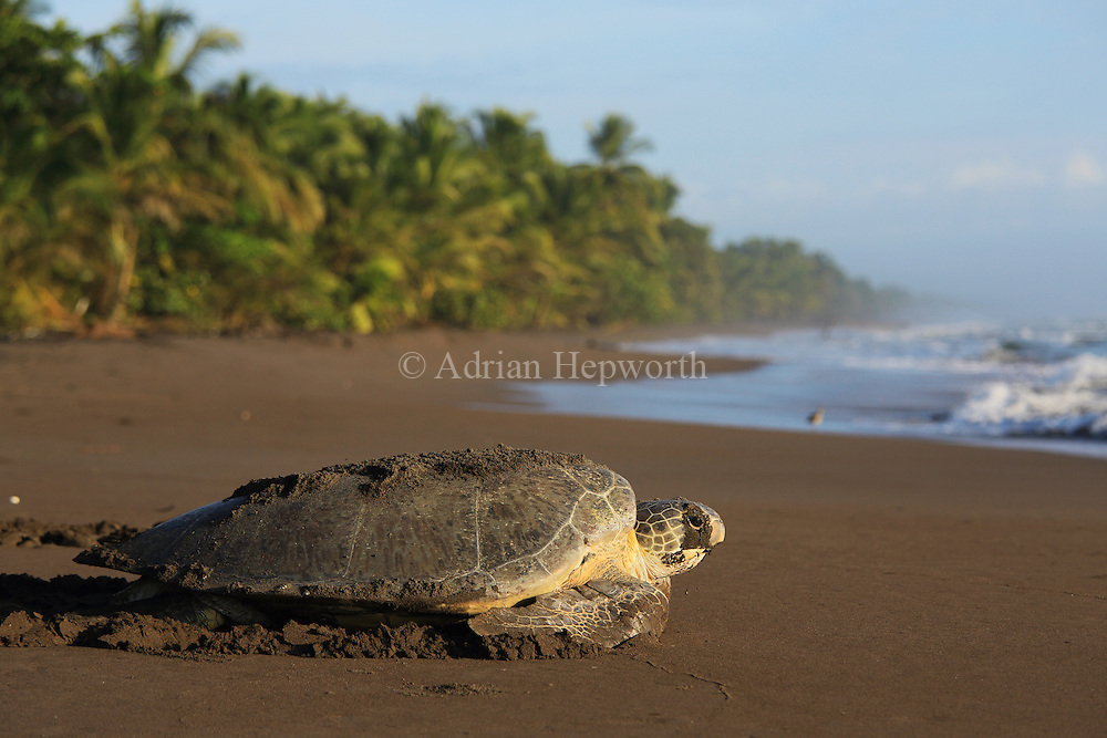 Female green turtle (Chelonia mydas) returning to ocean in the early morning after nesting on the beach in Tortuguero National Park, Costa Rica.