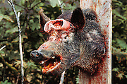 "Paint splattered pig (used for target practice) at the ""Quest"" Paint Gun Combat Park.  Malibu, California, USA."