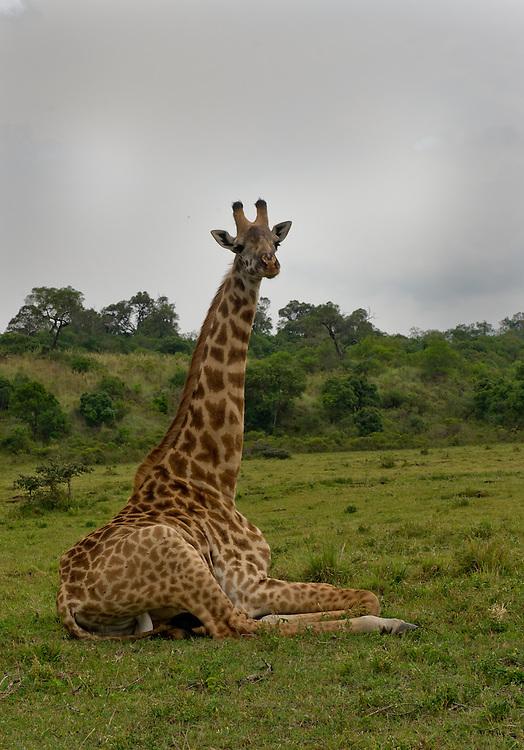 The Sitting Giraffe - Twiga