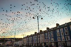 © Licensed to London News Pictures. 25/02/2019. Aberystwyth, UK. At daybreak on what is forecast to be an unseasonably warm February day, tens of thousands of starlings erupt in spectacular swarms from their overnight roost under Aberystwyth pier to fly out to their feeding grounds in the fields and marshes around Aberystwyth in west Wales. Photo credit: Keith Morris/LNP