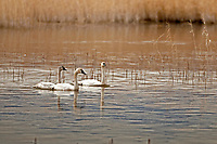Early spring in northern Utah and a group of Tundra Swans swim in a local marsh in Utah today is swan day!