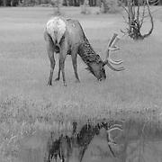 Grazing Bull Elk Pond Reflection - Yellowstone National Park - Infrared Black & White