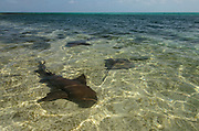Nurse Shark (Ginglymostoma cirratum) &amp; Southern Stingray (Dasyatis americana)<br /> Lighthouse Reef Atoll<br /> Belize Barrier Reef. Second largest barrier reef system in the world.<br /> BELIZE, Central America