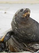 An old bull (male) New Zealand or Hooker's Sea Lion (Phocarctos hookeri) sleeps, rests on Sandfly Beach, Otago Peninsula, near Dunedin, New Zealand
