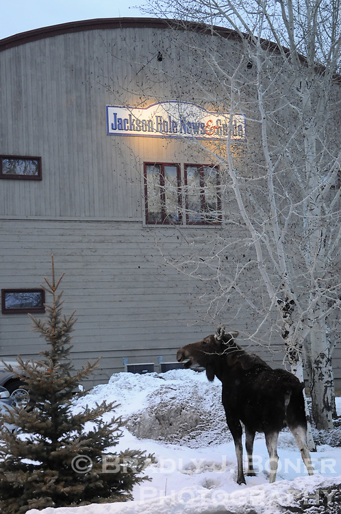 Moose and calf outside Jackson Hole News&Guide