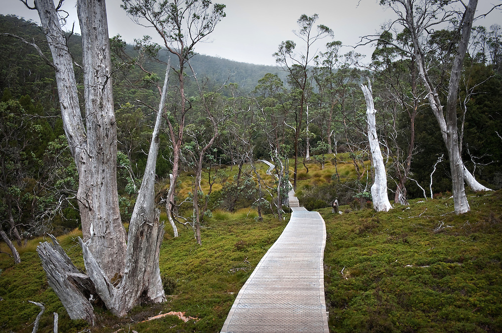 A wooden boardwalk going off in the distance and surrounded by trees and lush vegetation in the Cradle Mountain National Park in Tasmania on a cloudy dull day.