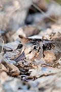 American Woodcock, Scolopax minor, on nest, Ottawa County, Ohio