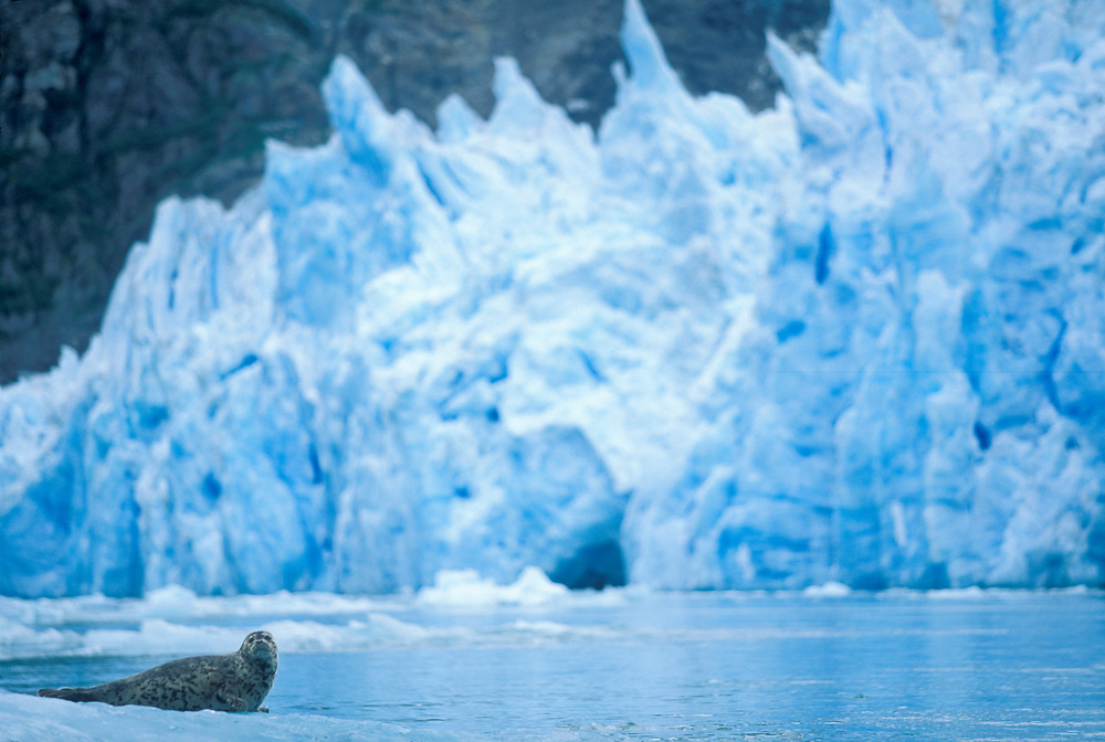 USA, Alaska, Tracy Arm-Fords Terror Wilderness, Harbor Seal and pup (Phoca vitulina) on ice by South Sawyer Glacier