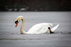 © Licensed to London News Pictures. 05/03/2018. Leeds UK. A swan makes it's way through the frozen lake at Golden Acre park in Leeds this morning as the county is covered with thick fog for a second day. Photo credit: Andrew McCaren/LNP