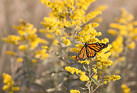 An autumn migrating Monarch Butterfly stops to fuel up on some Goldenrod at Moses Cone Memorial Park along the Blue Ridge Parkway in Western North Carolina.  The property features a number of fields that are filled with wildflowers and seasonal Goldenrod that attract butterflies.