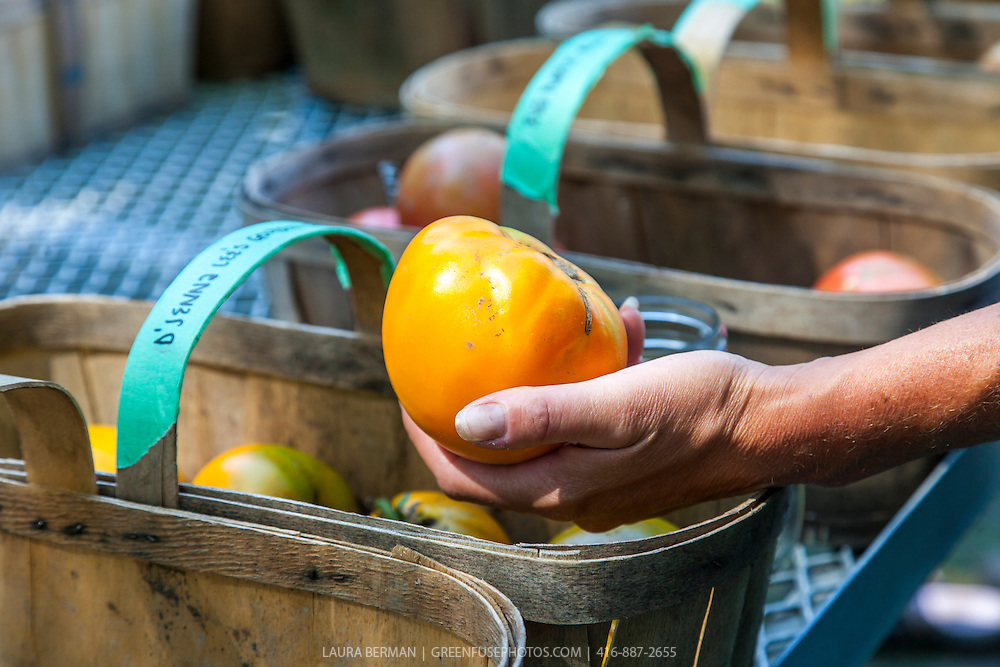 A basket of 'D'Jenna Lee's Golden' heirloom tomatoes.