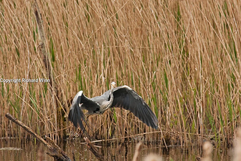 Grey Heron taking off from a shallow channel at Shapwick Heath, with tall reeds in the background.