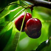 Newberry Cherry Farm