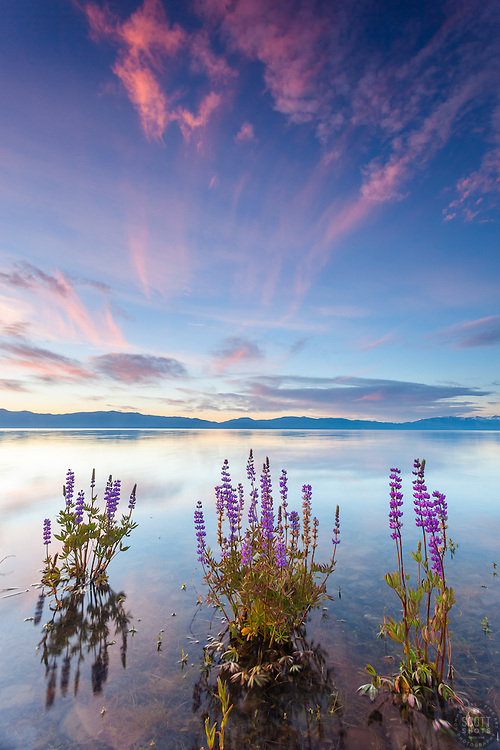 """Tahoe Lupine at Sunrise 4"" - These partially submerged lupine wildflowers were photographed at sunrise at Lake Forest Beach, Lake Tahoe."