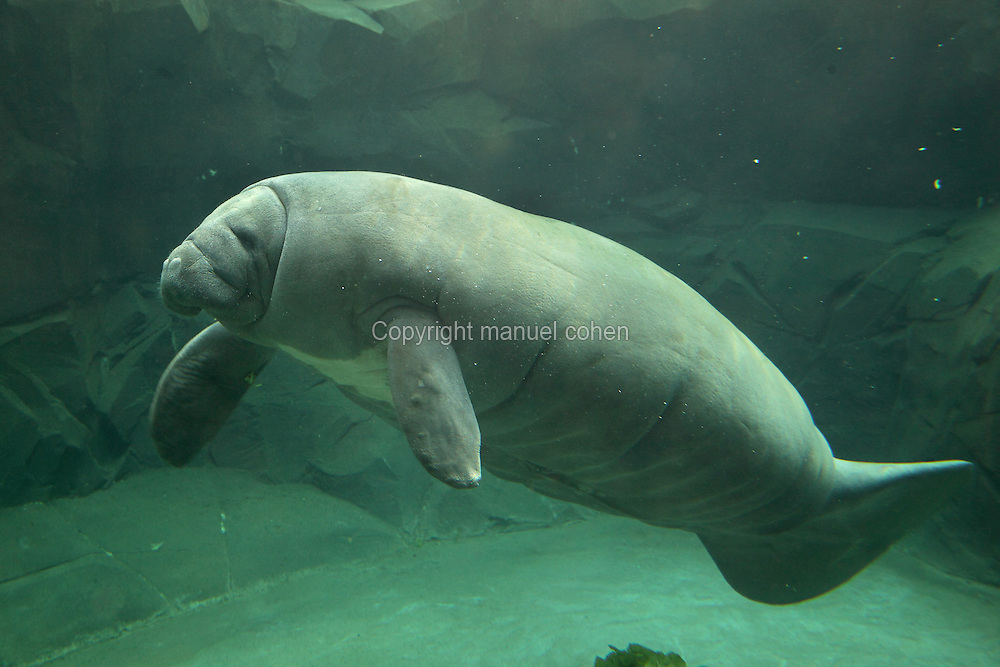 Tinus the manatee (Trichechus manatus) swimming underwater in the manatee tank in the Great Glasshouse in the Zone Guyane of the new Parc Zoologique de Paris or Zoo de Vincennes, (Zoological Gardens of Paris or Vincennes Zoo), which reopened April 2014, part of the Musee National d'Histoire Naturelle (National Museum of Natural History), 12th arrondissement, Paris, France. Picture by Manuel Cohen