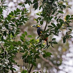 """""""Araçari-poca (Selenidera maculirostris) fotografado em Santa Maria de Jetibá, Espírito Santo -  Sudeste do Brasil. Bioma Mata Atlântica. Registro feito em 2016.<br /> <br /> <br /> <br /> ENGLISH: Spot-billed Toucanet photographed  in Santa Maria de Jetibá, Espírito Santo - Southeast of Brazil. Atlantic Forest Biome. Picture made in 2016."""""""